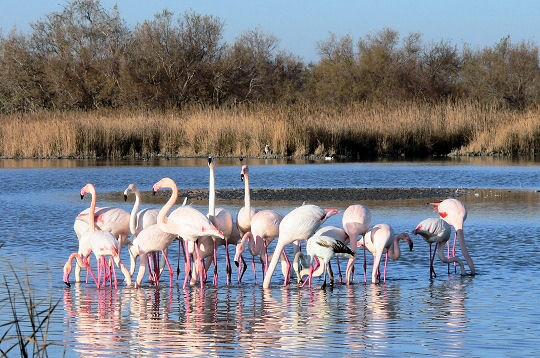 Flamand de Camargue